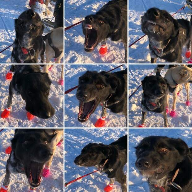 Забавный факт: фишка Гринча - смешные выражения мордочки! животные, истории, мило, работа, собака, собаки, упряжка, фото