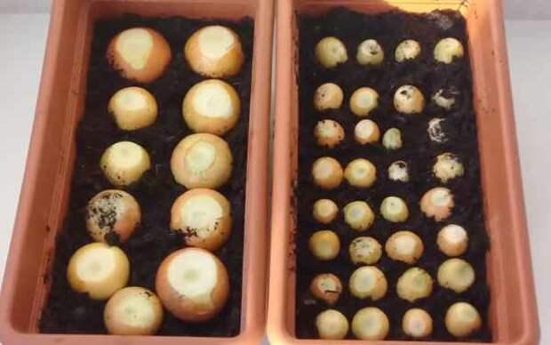 посадка луковиц в землю