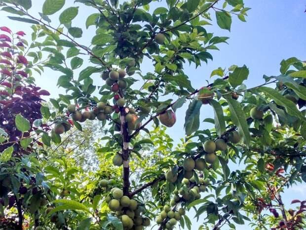 """Еще один известный садовод """"специализирующийся"""" на деревьях-коктейлях (или как их еще называют многосортовые, или фруктовый салат) это американец Сэм Ван Акен Фабрика идей, дерево-сад, интересное, растения, садоводство, факты"""