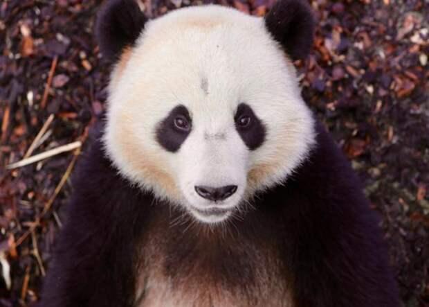 Панда напала на сотрудника зоопарка Pairi Daiza