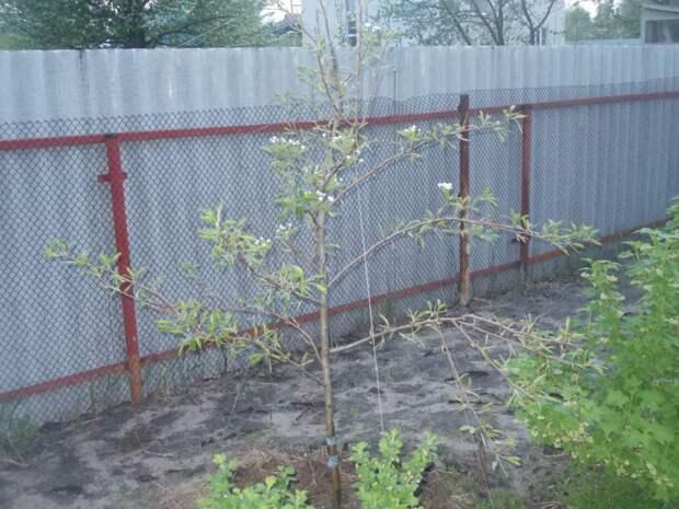 Ускоряю плодоношение молодого сада при помощи растяжек