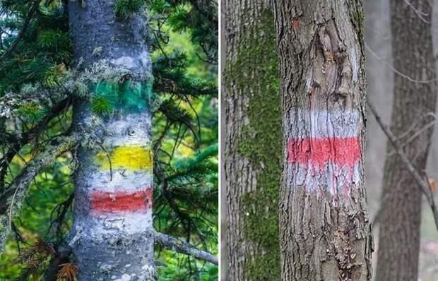 «Светофор» в лесу: зачем его рисуют на деревьях и как он может помочь