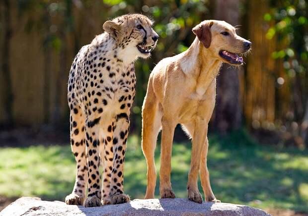 b6deee76bb788923748bde2f3f8c221d Про дружбу кошек с собаками