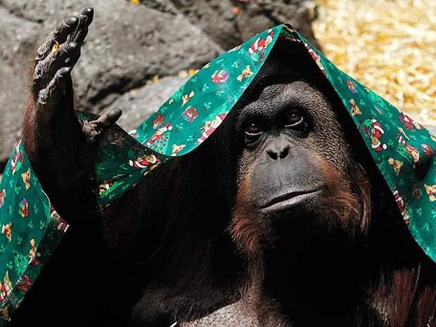 Представители организации Association of Officials and Lawyers for Animal Rights (AFADA) заявляли, что содержащаяся в зоопарке Буэнос-Айреса самка орангутанга Сандра была незаконно лишена свободы и требовали ее отпустить на волю