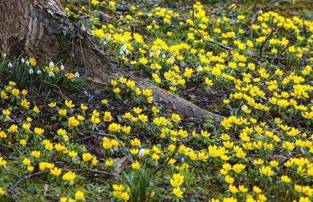 В ажурной тени деревьев и кустарников весенники растут лучше всего.