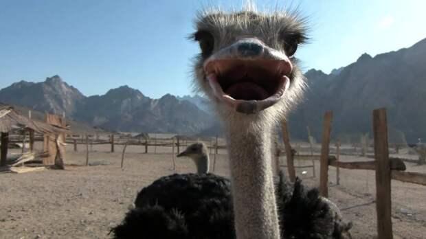 Прячет ли страус голову в песок? История одного древнего заблуждения