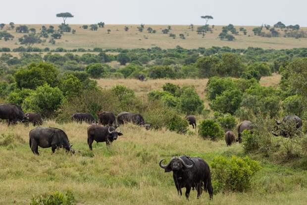 Стадо буйволов отбило детёныша от леопарда
