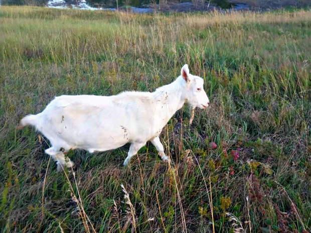 Коза по кличке Лиза ушла жить к соседу, став ненужной прошлому хозяину