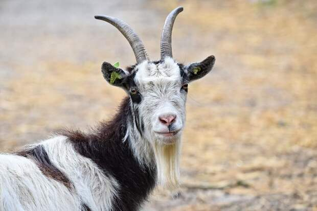 На фото изображена коза.