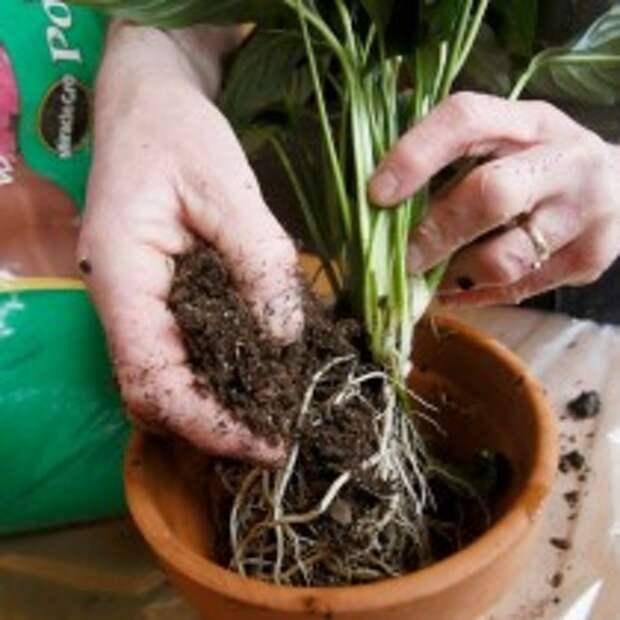 При необходимости разделяем растение и высаживаем в обновлённый грунт