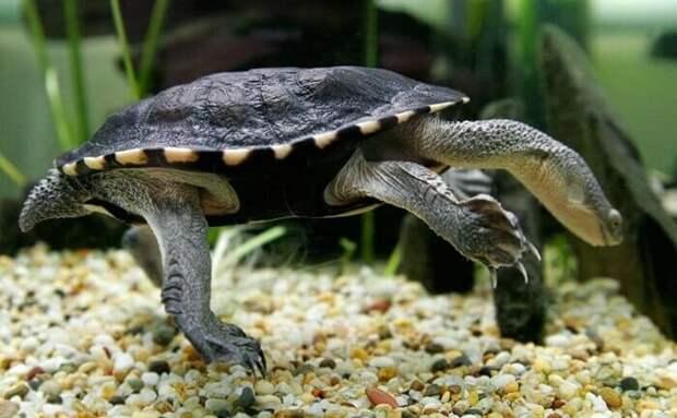 Восточная длинношеяя черепаха