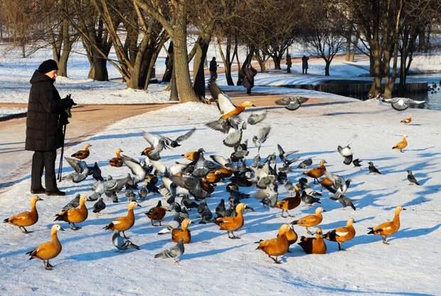 Мосприрода разъяснила, как подкармливать зимующих на Лихоборке уток