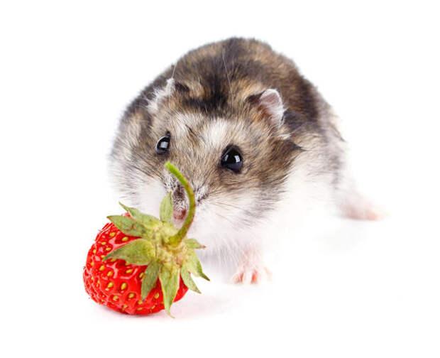 Посадив на земляничной грядке несколько кустов циноглоссума (чернокорня), о мышах можно будет забыть