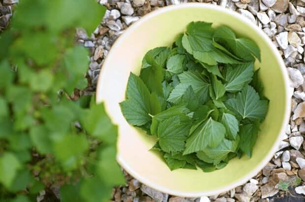 Для ферментации лучше брать молодые листочки малины, смородины, мяты или других трав / Фото: prekrasnaja.com