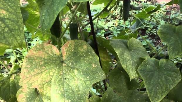 Обработка огурцов от болезней