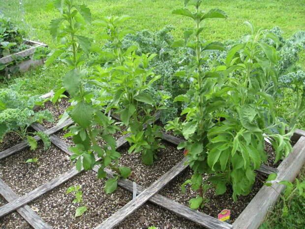 Сладкая стевия: как вырастить на даче