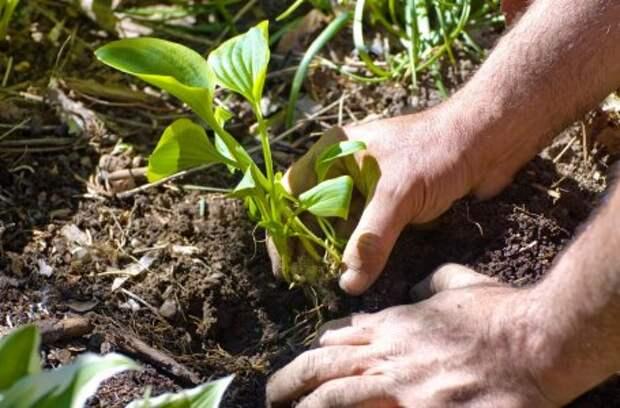Страшнее сорняков: какие растения вытеснят сныть и одуванчики