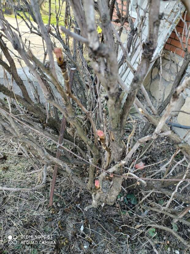 Древовидный пион ранней весной