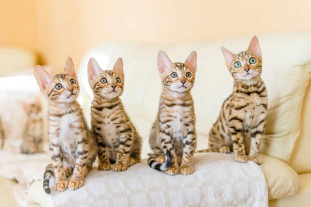 Китайские учёные начали клонировать котят