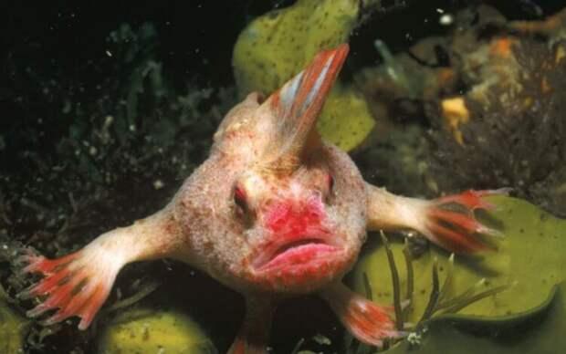 Прощай, Sympterichthys unipennis. Рыба с ирокезом признана вымершей