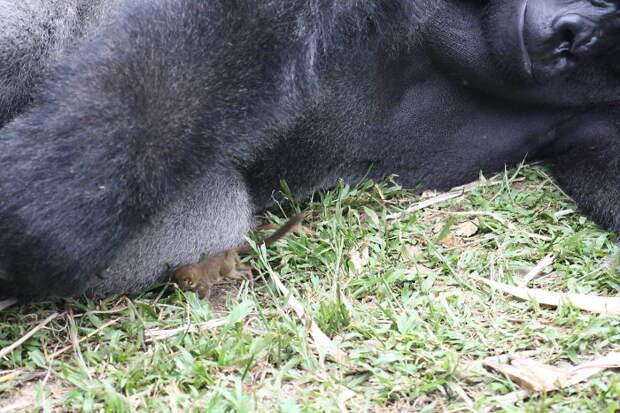 Огромная горилла встретила в лесу крошечного зверька - и вот что она с ним сделала!