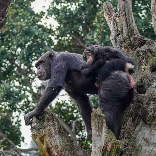 Детёныш шимпанзе остался без мамы, и сотрудники зоопарка на время дали ему игрушку. Их фото растрогает любого!