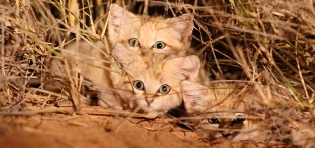 Ученые впервые засняли на видео уникальных барханных котят, которые живут только в пустынях