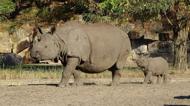 1. Индийский носорог барс, коала, панда, редкие животные, тигр