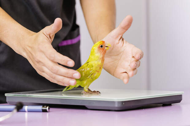 Попугай съел на завтрак бриллианты хозяйки и отправился к врачу