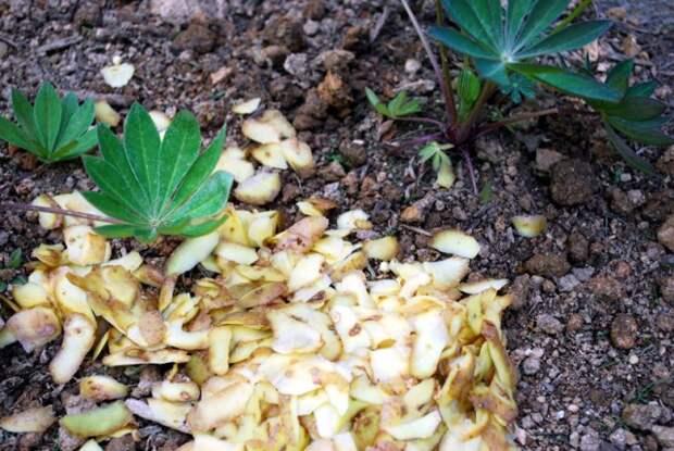 картофельные очистки для сада и огорода