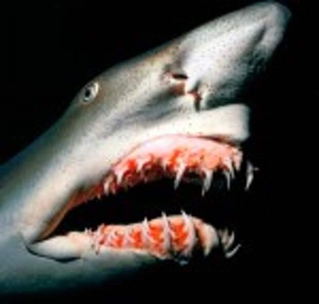 Акула-гоблин