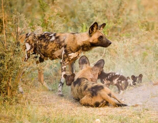 Фото гиеновидной собаки