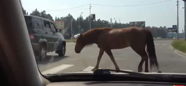 Животные переходят дорогу. Учитесь!