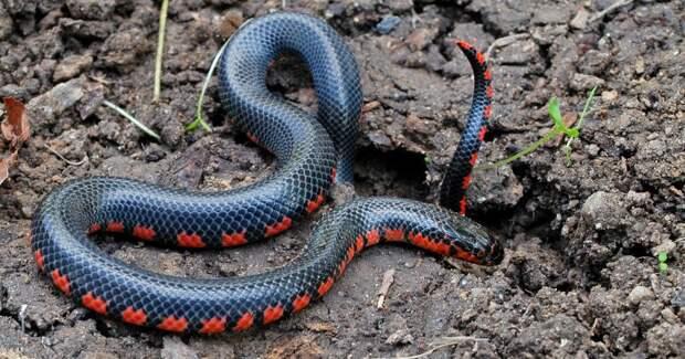 Немецкие ученые расшифровали геном нового вида иловых змей в Мьянме