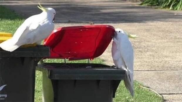 Курьез: В Австралии попугаи какаду учат друг друга грабить мусорные баки (ВИДЕО)