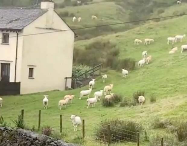 Стадо овец неподвижно застыло на несколько часов, чем очень напугало мужчину