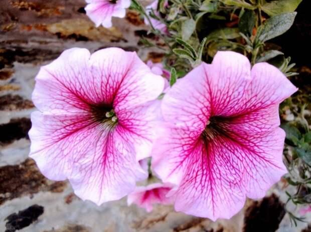 Нежно-розовые цветки петунии с ярко-розовыми прожилками