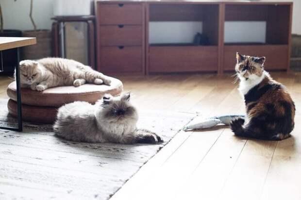 Концентрация недовольства у этого трио зашкаливающее животные, кот, милота, мимика, морда, ненависть