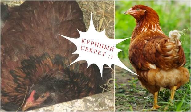 Эта дружелюбная курица вдруг стала прятаться… Заглянув в гнездо, фермер был сражен наповал!