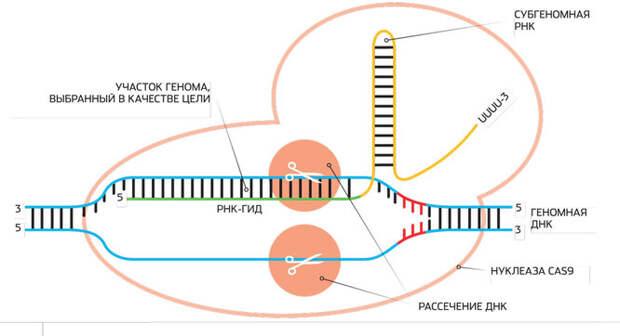 Генная терапия: как лечат генетические заболевания