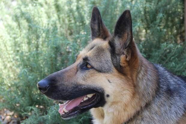Хозяева не хотели вторую собаку, но породистый пёс сам завёл «братика»
