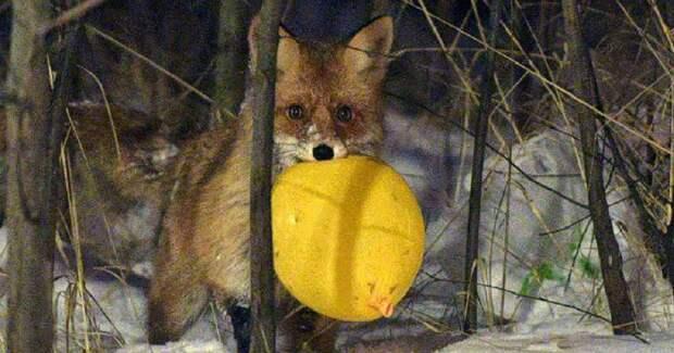 Алиса из Бирюлёво: дикая лиса, живущая в парке, кушает с рук, позирует для фото и дружит с собаками! :)