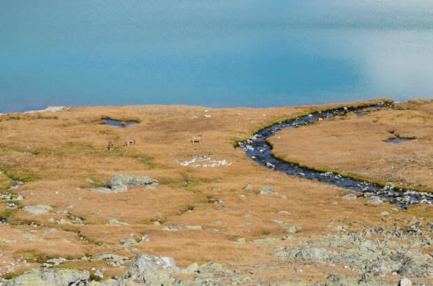Горные козлы прогуливаются по набережной озера Эхой