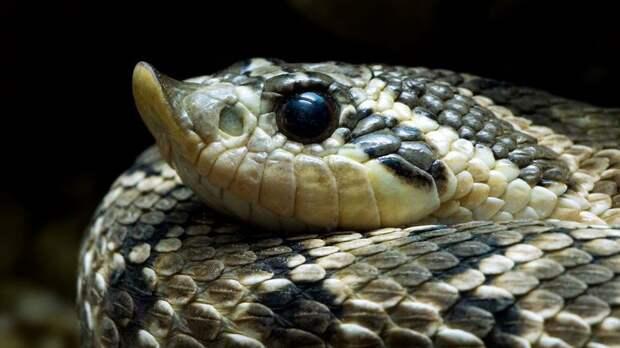 Свиноносая носатая змея: Всегда улыбается и лопает жаб, как воздушные шарики, прямо в горле