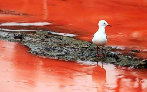 krovavoaliokean 7 800x499 Вода на пляжах Австралии окрасилась кроваво красным, напугав отдыхающих