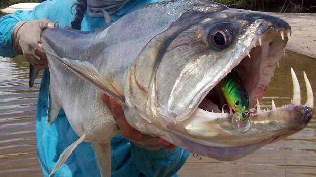 Жуткая паяра: рыба, которая легко справляется со стаей кровожадных пираний