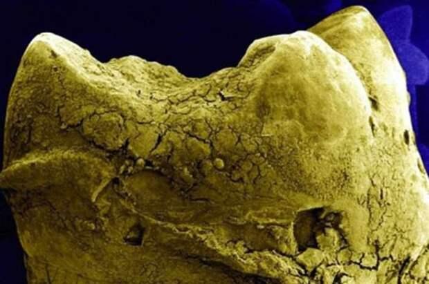 4. Зубы организм, под микроскопом