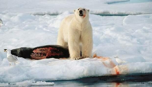 Российские рыбаки спасли нерпу из лап медведя