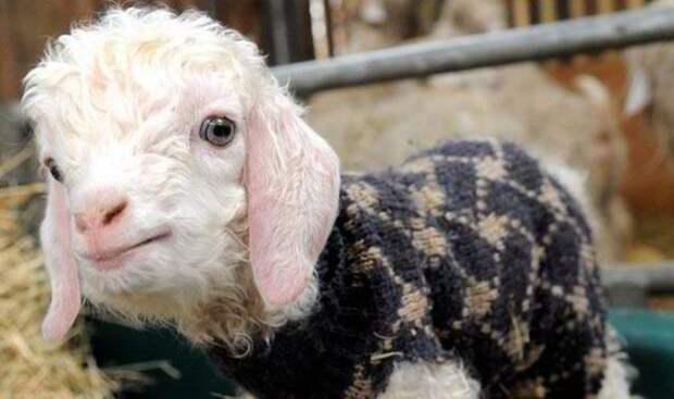 29 фотографий супер очаровательных и непоседливых козлят - 2