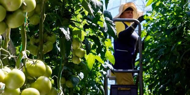 Липецк «завалят» помидорами?